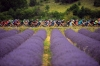 5 Rolling through fields of lavender. Las Mejores Fotos y videos Tour de Francia Etapa 15 por www.SIDCES.com
